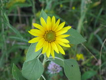 A small sunflower Stock Photography