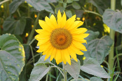 Small sunflower Stock Photo
