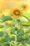 Small sunflower Stock Photography