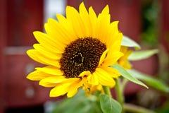 Small sunflower Stock Photo