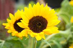 Small sunflower Royalty Free Stock Image