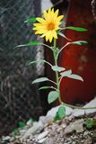 Small sunflower in harsh conditions - Power of nature stock photos