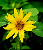 Small Sunflower with Leafs Stock Photo