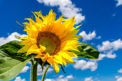 Small sunflower plant Stock Images