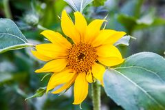 Small sunflower stock images