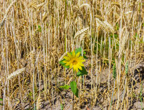 Small sunflower among the wheat. Small blooming sunflower among ripening wheat field stock image