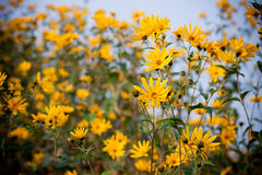 Small sunflowers Royalty Free Stock Images