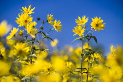 Small sunflowers Royalty Free Stock Photo