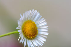 Small sunny chamomile flowers close-up Royalty Free Stock Photos