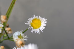 Small sunny chamomile flowers close-up Stock Image