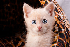 Small surprised kitten Royalty Free Stock Image