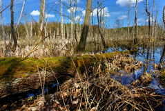 Small swamp with duckweed in forest Royalty Free Stock Photos