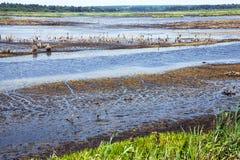 Small swamp, lake Royalty Free Stock Photo