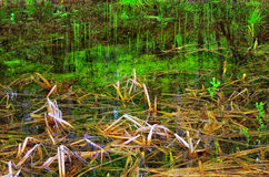 Small swamp. Spring sprouts appear reeds in swamp Royalty Free Stock Photography