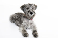 Small sweet dog Stock Images