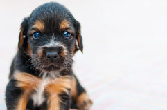 The small sweet little dog is looking for you. The adorable puppy looks at you with dreamy eyes. Search cuddle, love, warmth ... and biscuits. He would do Royalty Free Stock Photography