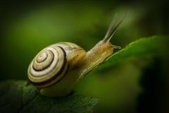 Small sweet snail. Macro photo of snail on a leaf Stock Photos