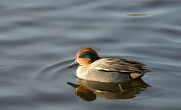 Small swiming duck. Small swimming duck on the lake Royalty Free Stock Photo