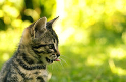 Small tabby cat. In the garden in a sunny day royalty free stock images