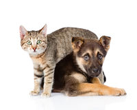 Small tabby cat and crossbreed dog together. isolated on white Royalty Free Stock Photography