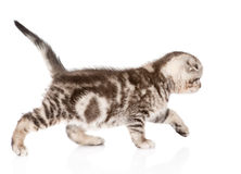 Small tabby cat walking. isolated on white background stock image