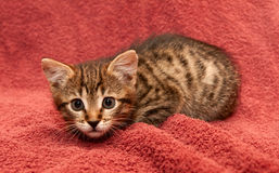 Small tabby Kitten on a brown Royalty Free Stock Photography