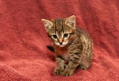 Small tabby Kitten on a brown Stock Photos
