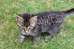 Small tabby kitten Royalty Free Stock Images