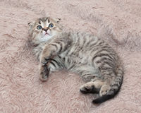 Small tabby kitten Scottish Fold is fearfully looking up Stock Photos