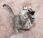 Small tabby kitten Scottish Fold leaps forward, stretching legs Royalty Free Stock Photo