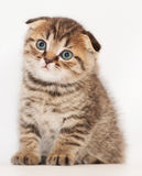 Small tabby kitten Scottish Fold sits and stares wistfully Royalty Free Stock Photography