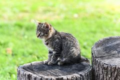 A small tabby kitten sits on an oak hemp in the middle of the yard, interesting and focused Royalty Free Stock Photography