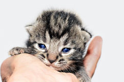 Small Tabby Kitten royalty free stock photo