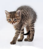 Small  tabby kitten worth arching his back on gray Stock Images