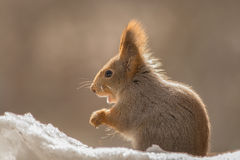 Small talk. Close up of red squirrel standing on snow with backlight Stock Photography