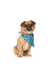 Small tan dog with floppy ears and a blue scarf Stock Photos