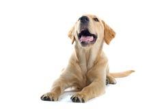 Small tan puppy royalty free stock photos