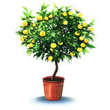 Small tangerine tree in pot isolated on the white Royalty Free Stock Image