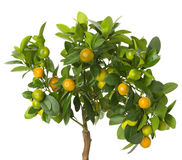 Small tangerines tree on white background Stock Photography