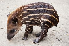 Small tapir animal. In the old pound royalty free stock photography