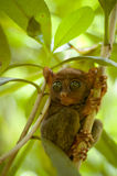 Small tarsier on the tree branch Stock Image