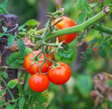 Small tasty tomatoes on a branches Stock Image