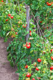 Small tasty tomatoes on a branches growing in a greenhouse Stock Photo