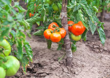 Small tasty tomatoes on a branches growing in a greenhouse Stock Photography