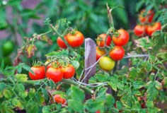 Small tasty tomatoes on a branches growing in a greenhouse Stock Images