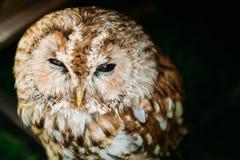 The small tawny owl. Wild bird. Close up head Royalty Free Stock Image