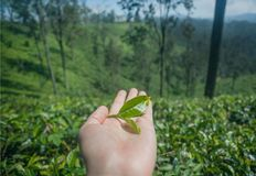 Small tea leaf in hand of farmen with green landscape with tea bush, trees and lush on hills. Sri Lanka environment Stock Photography