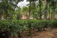 Small tea plantation near the village. Royalty Free Stock Photo