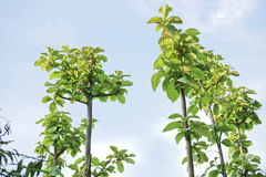 Small Teak tree. Small Teak tree in the forest Stock Image