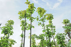 Small Teak tree. Small Teak tree in the forest Royalty Free Stock Photos